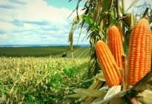 Lavoura de milho está 99% colhida no Estado