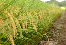 Arrozeiros tentam voltar a um milhão de hectares cultivados no RS